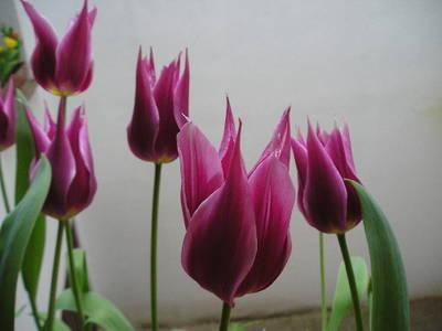 20090102052540-tulipaespejo.jpg