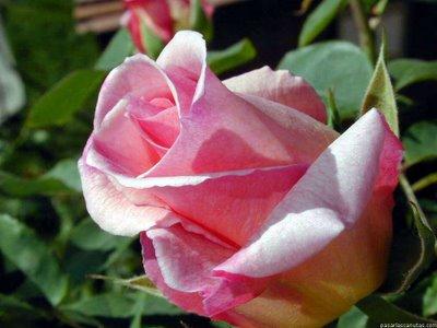 20100305031915-rosa.jpg