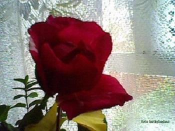 20120801021108-29-06-12-135betty-badaui-mis-rosas.jpg