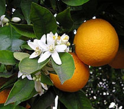 20150704230532-azahar-naranja-y-sol.jpg