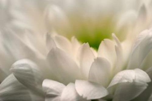 20130901072635-el-blanco-crisantemo.jpg